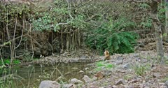 Sub-adult tiger sitting alone near the water's edge on rock area and looking around.