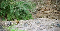 Sub-adult tiger lying down on rock stones. Another one tiger hiding at behind under the slope and looking around.