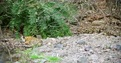 Sub-adult tiger sitting on rock stones and heads down on paws then lying on the ground. Background Another one Tiger hiding behind the woods and looking at camera.