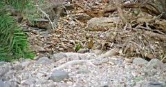 Tiger hiding behind the woods and looking around then looks at camera. Foreground rock stones and tree roots.