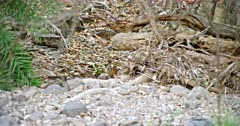 Injured Tiger hiding behind the woods and looks at camera. Tiger injured on its nose. Foreground rock stones and wooden sticks.