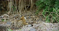 Sub-adult Tiger sitting at the water's edge and heads down on the ground. Background huge rock wall covered by tree roots.