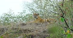 Sub-adult Tiger sitting on dry grass field near the bushes and watching around