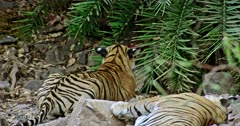 Tiger mother lying down on the rock stones, Near by her sub-adult male cub sitting and heads up watching towards the bushes. Background carcass hided inside the bushes.