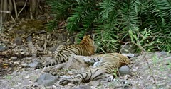 Tiger mother lying down on the rock stones, Near by her sub-adult male cub watching towards the bushes and slowly moving up. Background Another one tiger standing with carcass inside the bushes.