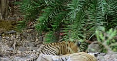 Tiger mother lying down on the rock stones, Near by her sub-adult male cub watching towards the bushes. Background Another one tiger standing with carcass inside the bushes and watching.