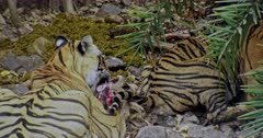 The hungry Tiger mother and her Sub-adult cub sitting on rock stones and eating carcass. Mother Tiger sitting behind her cub and bitting the carcass.