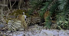 The hungry Tiger mother and her Sub-adult cub sitting on rock stones and eating carcass. Mother Tiger besides her sub-adult cub and bitting the carcass.