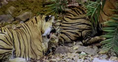 The hungry tiger mother and sub-adult cubs sharing carcass and eating on the rock stones. Mother bitting carcass looking aggressive.