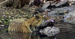 Aggressive male tiger sitting on water with kill, he keep holding the kill by his mouth.