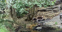 Aggressive male tiger sitting on water with kill, he keep holding the kill by his mouth. Background two sub-adult tigers at behind the tree.