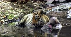 Aggressive male tiger with blood face, he sitting on water pool with the kill and drinking water.