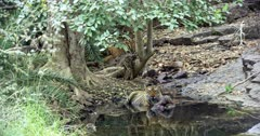 Aggressive Male tiger sitting with kill on water pool and watching around. Background Sub-adult tiger sitting on rocks and eating small piece of carcass.