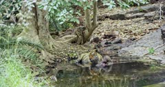 Aggressive Male tiger sitting with kill on water pool and watching around. Background sub-adult tiger walks away.