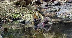 Aggressive Male tiger sitting with kill on water pool and watching around.