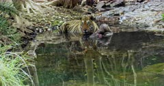 Aggressive Male tiger sitting with kill on water pool and watching around. Foreground water reflects the tiger face.