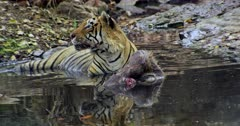 Aggressive Male tiger sitting with kill on water pool and heads up looking away. Foreground water reflects tiger face.