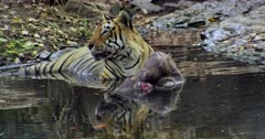 Aggressive Male tiger sitting with kill on water pool and heads up looking around. Foreground water reflects tiger face.