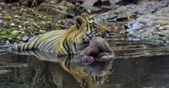 Aggressive Male tiger sitting with kill on water pool and looking around. Foreground water reflects tiger face. Tiger biting the kill and looking at camera.