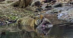 Aggressive Male tiger sitting on water pool and holding the kill by his mouth, looks at camera. Foreground water reflects tiger face.
