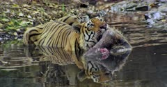Aggressive Male tiger sitting on water pool and holding the kill by his mouth then takes out. Foreground water reflects tiger face.