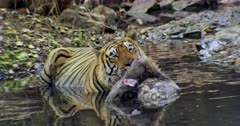 Aggressive Male tiger sitting on the water pool and holding bite on the kill. Then he dragging and moving the kill little bit.