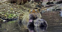 Aggressive Male tiger sitting on the water pool and holding bite on the kill, looks around.