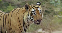 Aggressive Male tiger standing and looking at camera with blood face. He keeps the kill on forest road and lifts up by his mouth then walking across the road.