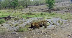 Aggressive male Tiger walking on rocks with kill and moving across. He biting on kill neck and dragging on ground, walks away.