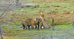 Tiger mother sitting on wetland and watching around. Her two Sub-adult tigers cuddling and rubbing face with mother. Then sub-adult tigers drinking water at wetland, walks around.