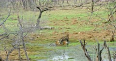 Tiger mother and her sub-adult cub sitting on wetland and watching around. Her male Sub-adult walks around near by.