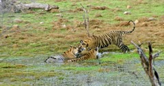 Tiger mother sitting on wetland and drinking water. Her male Sub-adult cub rubbing face and cuddling. Another sub-adult cub sitting besides.
