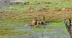 Tiger mother sitting on wetland and drinking water. Her male Sub-adult cub rubbing face and cuddling. Another sub-adult cub lying on mother and rubbing face. Mother gets angry growling to cubs.