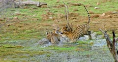 Tiger mother and her two sub-adult cubs sitting on wetland and another one third sub-adult tiger Arrow head running towards the mother. Sub-adult tiger Arrow head rubbing and grooming with mother and siblings.