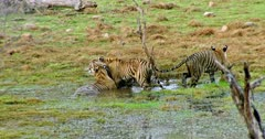 Two sub-adult tigers rubbing and grooming with mother. Another one third sub-adult walks out from wetland. Mother tiger sitting on wetland and drinking water.