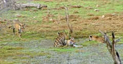 Tiger mother sitting on wetland and drinking water. Sub-adult tigers grooming and cuddling with mother.