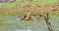 Tiger mother sitting on wetland and getting angry by cubs. Her three Sub-adult cubs grooming and cuddling with mother.