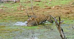 Three Sub-adult cubs grooming and cuddling with mother. Tiger mother gets angry and growling to cubs. Sub-adult cub arrow head running at wetland and thrashing water to siblings.