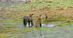 Sub-adult male tiger cuddling and grooming with mother at wetland. Another sub-adult tiger arrow head running into the wetland and jumping across on mother then walks out.