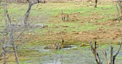 Sub-adult Tiger rubbing face with mother at wetland and tiger mother licking cub, drinking water. Behind of them another sub-adult walking on grass field and sitting.