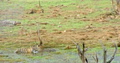 Tiger mother sitting at wetland with her cub and rubbing face with cub. Behind of them another two sub-adults sitting and eating grass on that field. Sub-adult cubs running and play fighting.