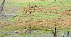 Tiger mother sitting at wetland with sub-adult cub and keep watching her cubs. behind of them another two sub-adults walks around on grass field.