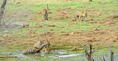 Tiger mother playing with sub-adult cub at wetland. Behind of them another two sub-adults walks around and smelling on grass field.