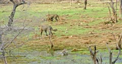 Tiger mother sitting at wetland and drinking water. Behind her Sub-adult cubs walks around the grass field and playing.