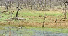 Tiger mother sitting at wetland and watching around. Sub-adult cubs roaming around near the wetland.