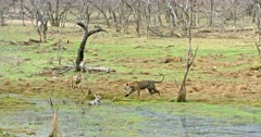 Tiger mother sitting at wetland and watching her cubs. Sub-adult cubs walking and running towards mother, thrashing water.