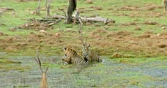 Tiger mother sitting with her two sub-adult cubs at wetland. Behind of them another one sub-adult walking towards the wetland.