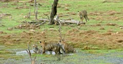 Tiger mother sitting with her two sub-adult cubs at wetland, one of the sub-adult cub cuddling with mother. Behind another one sub-adult walking towards the wetland.