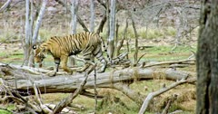 Sub-adult tiger walking on the fallen tree trunk and moving down then watching around. Around that field filled with fallen tree trunks and wooden sticks.