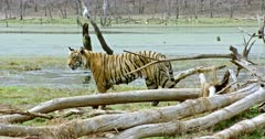 Sub-adult tiger walking near the wetland and watching around. Foreground fallen tree trunks covered. Background egret standing on the wood.